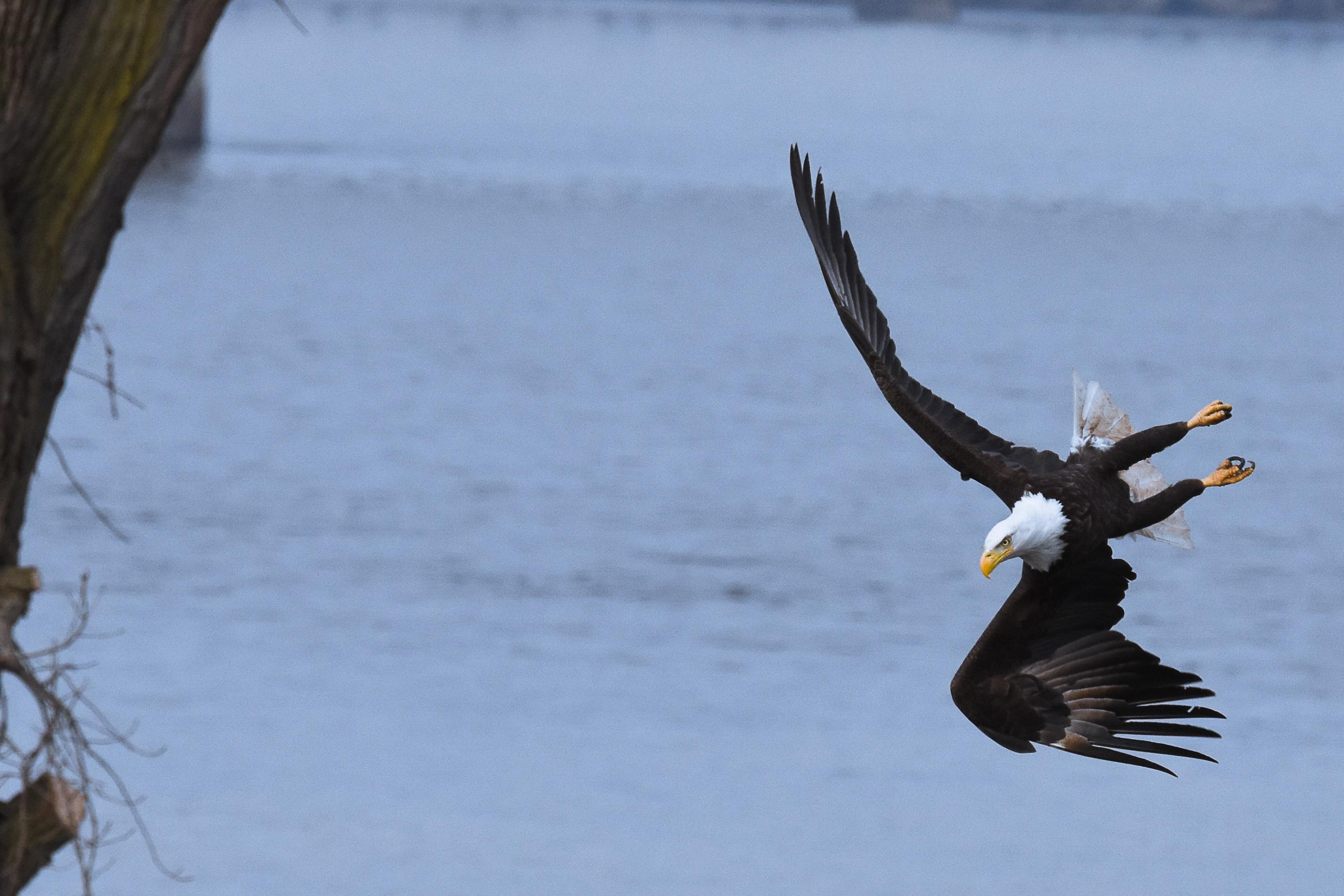 Eagle at Davenport